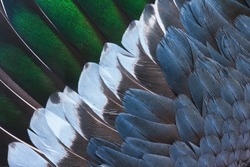 Brown, green, blue, and white feathers on the wing of a wild duck as a background. Close-up colorful feathers, bird feathers background texture. Selective focus.