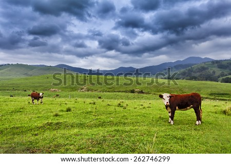 brown growing steers at green grazing pasture in rural australian agricultural estate as a cattle farm