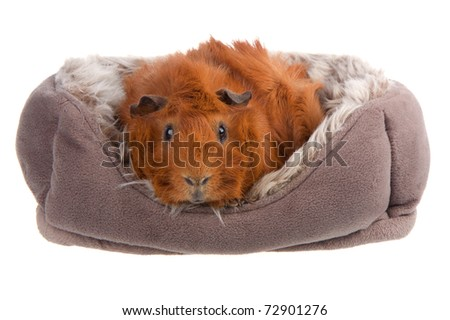Brown Guinea Pig in a basket isolated on white