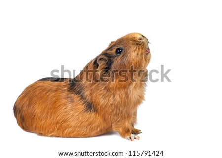 brown guinea pig on a white background