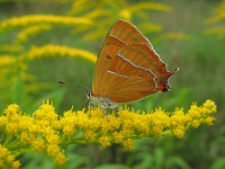 Brown hairstreak butterfly (Thecla betulae) - orange butterfly with white streaks on Canadian goldenrod yellow flowers, Gdansk, Poland