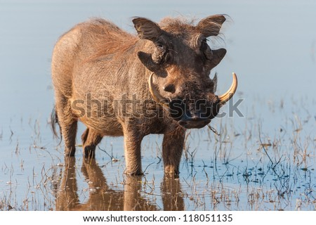 Brown hairy warthog in the water of a river