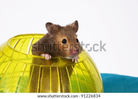 Brown Hamster Popping out of yellow Ball / This is a Brown Hamster pooping his head and shoulders out of a Yellow Ball. The Blue bottom adds depth and a touch of Spring.