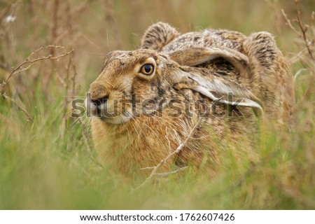 Brown Hare - Lepus europaeus, European hare, species of hare native to Europe and parts of Asia. It is among the largest hare species and is adapted to temperate, open country. Hares are herbivorous.