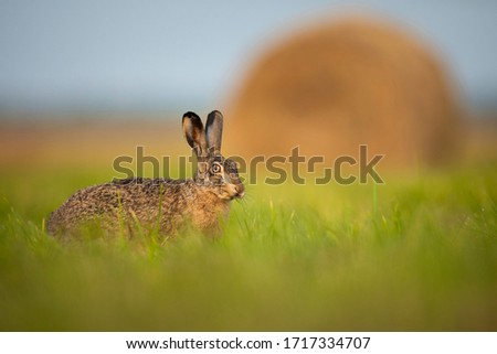 Brown hare on the meadow in Biebrza national park in Poland Zdjęcia stock ©