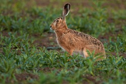 Brown hare sitting in a green field at sunset. Wild animal in its natural habitat.