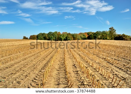 Brown Harvested Cornfield #37874488