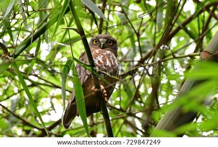 Brown Hawk-owl on the bamboo ,Night Bird in Thailand
