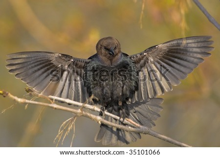 Brown-headed Cow bird, the most vocal bird in North America. ater.Molothrus ater.
