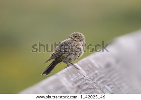 Brown-headed Cowbird (female) #1142025146