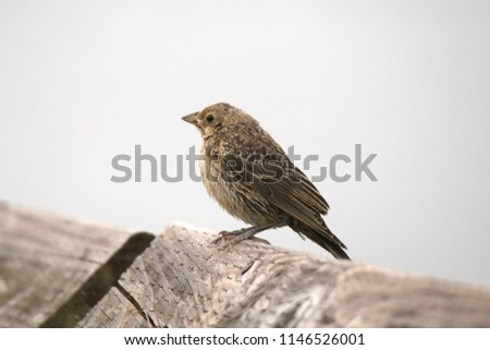 Brown-headed Cowbird (female) #1146526001