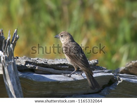 Brown-headed Cowbird (female) #1165332064