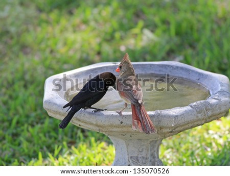 Brown-headed Cowbird seems to be pleading with Female Cardinal as they perch on birdbath.