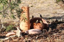 Brown-headed Honeyeaters (Melithreptus brevirostris) at birdbath, South Australia