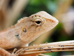 Brown-headed Lizard is a species of Chameleon native of Thailand in Asia. Chameleon lying on the sidewalk. chameleon looking into lens with one eye.Changeable Lizard, Red-headed Lizard