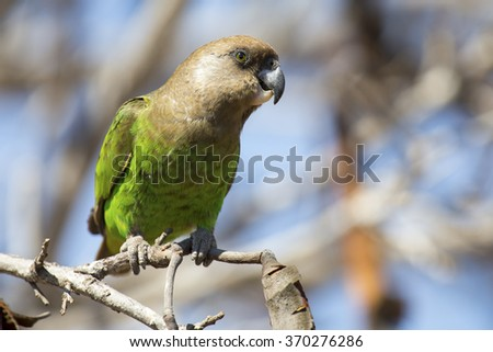 Brown headed parrot sitting on a branch with lovely green feathers #370276286