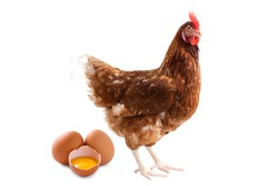 Brown hen and egg isolated on white background, Laying hens farmers concept.