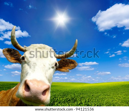 Brown Holstein cow in the field looking at you