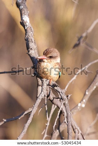 Brown-hooded Kingfisher (Halcyon albiventris) sitting on the branch in South Africa