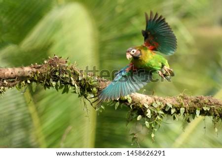 Brown-hooded Parrot (Pyrilia haematotis) - In Flight