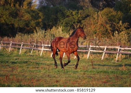 Brown horse cantering at the field near the fence