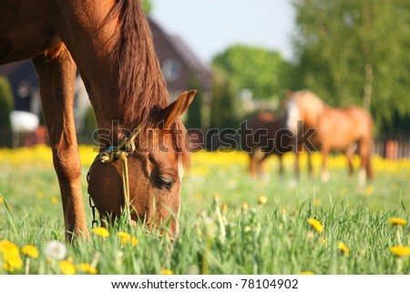 Brown horse eating grass on the field with dandelions