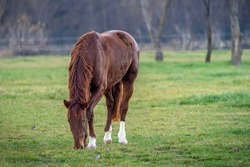 Brown horse eating in the spring pasture.