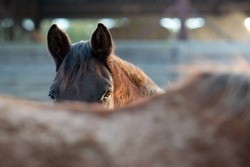 Brown horse mare on the farm, South Czechia