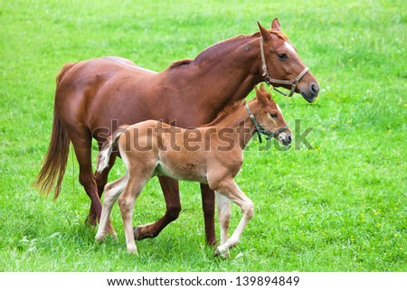 brown horse mother walks with her foal over the green meadow