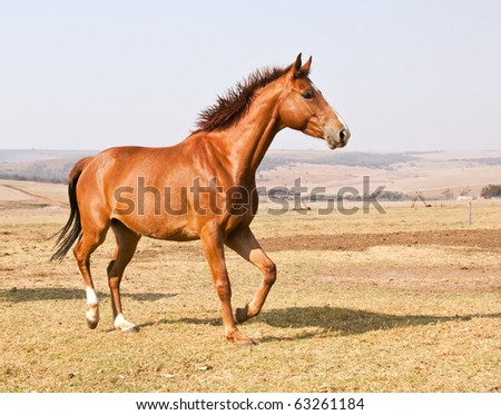 Brown horse running on dry grass and blue sky on farm - stock photo