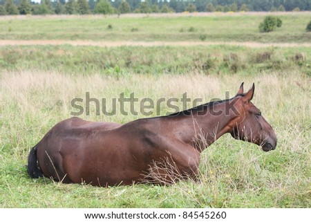 Brown horse sleeping on the ground