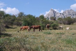 Brown horses and sheeps walking in a meadow