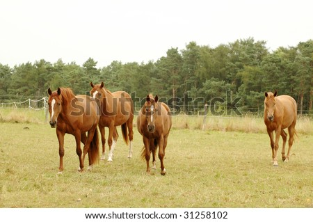 Brown horses go on a pasture.