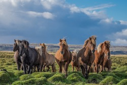 Brown horses in an Icelandic, green pasture with storm clouds and blue sky above.