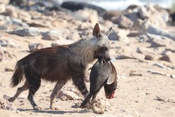 Brown hyena (hyaena brunnea) carrying a dead seal pup after it killed it, at a Namibian seal colony on the Skeleton Coast in Namibia.