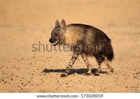 Brown hyena (Hyaena brunnea), Kalahari desert, South Africa