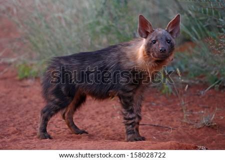 Brown hyena juvenile