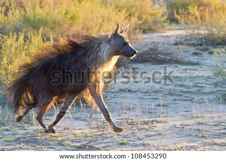 Brown Hyena running in the Kalahari