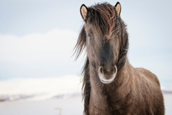 Brown Icelandic horse in the snow, Iceland