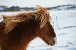 brown icelandic horse with blond mane in the wind on iceland in the snow
