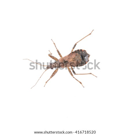Brown kissing bug isolated on a white background