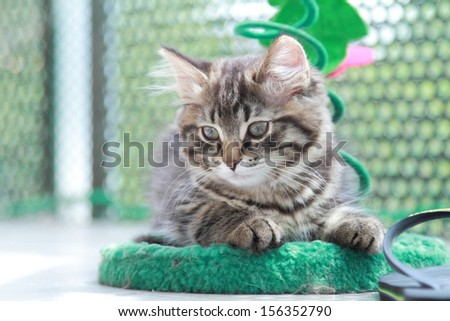 brown kitten of siberian breed with a little scratching post