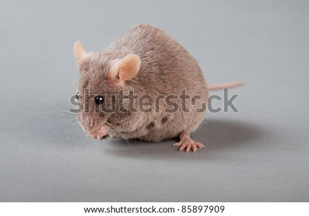 brown laboratory mouse isolated on grey background