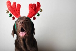 Brown labrador in christmas reindeer horns looking at camera on white background
