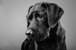 Brown labrador puppy one year old watching to the left. Black white photo from a middle large dog inside.