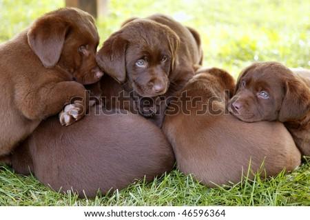 brown Labrador Retriever dog litter of pups
