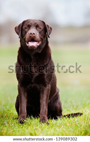 Brown Labrador retriever dog outdoors