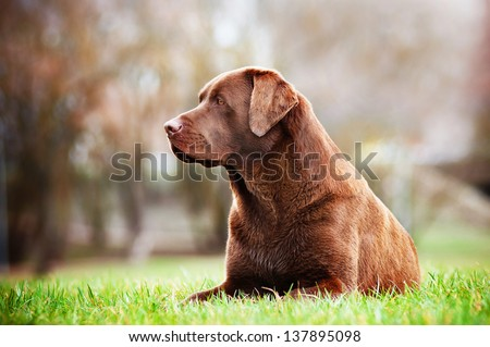 brown labrador retriever dog resting outside