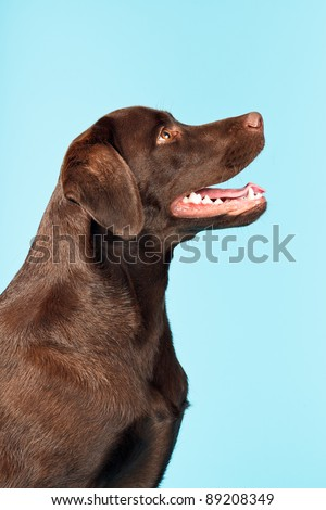 Brown labrador retriever isolated on light blue background