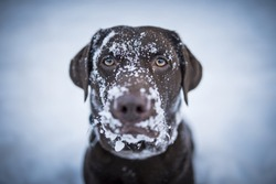 Brown Labrador Retriever looking funny with snow all over her face.